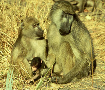chacma baboons with baby